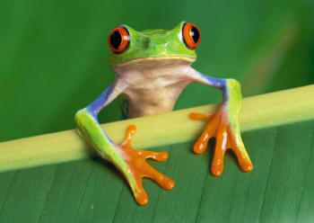 Red-Eyed Tree Frog Picture
